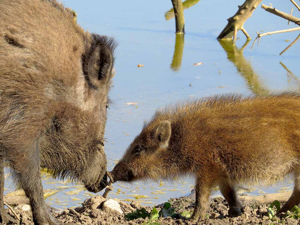 Wildschwein mit Ferkel